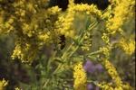 Animal behavior-Bombus on goldenrod
