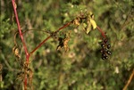 BFEC Pokeweed in prarie