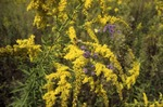 Aster and solidago
