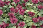 KCES Red bee balm