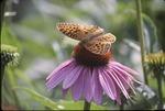 Fritillary, Echinacea KCES