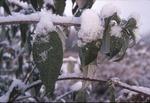 KCES Snow on leaves