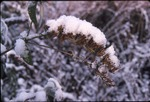 KCES Snow on Buddha inflorescence