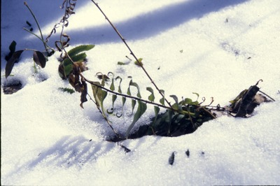 Christmas fern in snow