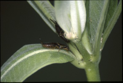 KCES Insects earwigs in milkweed