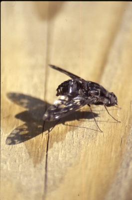 Picture wing fly on wood