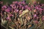 Grasshopper in ironweed flowers