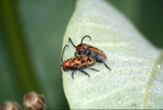 KCES insects, copulating milkweed beetles