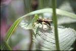 Robber fly KCES