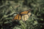 Mating Monarchs in Grass KCES