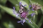 Bombus purple bee balm