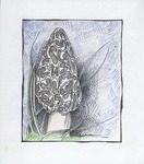 The common morel is a sponge mushroom that does most of its growing at night. by Molly Sharp