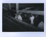 Cattle in the Shinaberry Barn