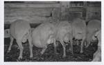 Sheep after De-Tailing