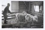Farmer Herding Sheep