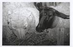Two Sheep Eating