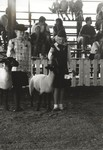 Knox County Fair Sheep