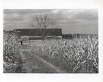 Cornfield at Beckley farm