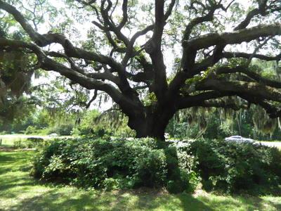 Proclamation Tree