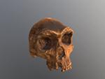 Kabwe Skull (Homo heidelbergensis)