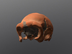 La Quina 5 cranium (Homo neanderthalensis)