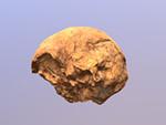 Modjokerto calvarium infant (Homo erectus)