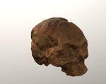 Wadjak I cranium (Homo sapiens)