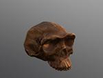Choukoutien (Lower cave) cranium (Homo erectus)