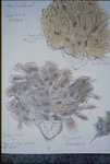 """Hand-colored drawing from the book: """"The Cauliflower,"""" and """"Sheepshead"""" by Brenda Young, Chris Grasso, and Lori Liggett"""