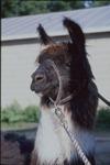 Close up of Llama on Sherman Farm by Mark Tebeau