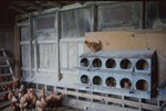 Lillian Robinson's chickens by Lori Liggett