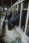 Steers feeding in pen in barn by Selina Lim