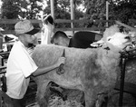 Dan Younger, Grooming Sheep for Show, Junior Fair, Knox County Fair, Mount Vernon, OH, 1994