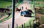 Dudgeon Farm Escorting Cattle From One Field to Another Across a Road by Rita Dudgeon and Chuck Dudgeon