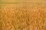 Dudgeon Farm Wheat Field