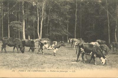 Foret de Compiegne - Vaches au paturage